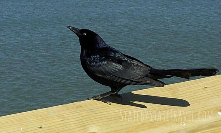 Frugal fun and bird watching in Myrtle Beach at 2nd Avenue Pier