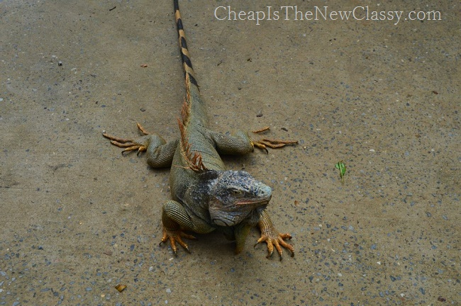 Adventures In Roatan, Honduras: Iguana Pictures