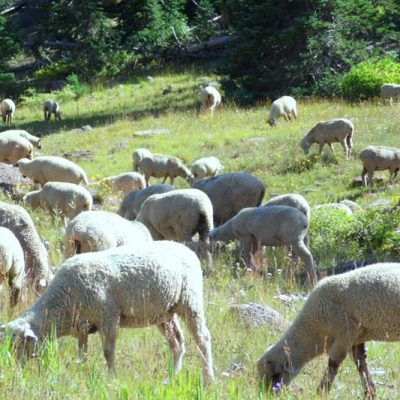 Sheep Herding In Cedar Breaks, Utah